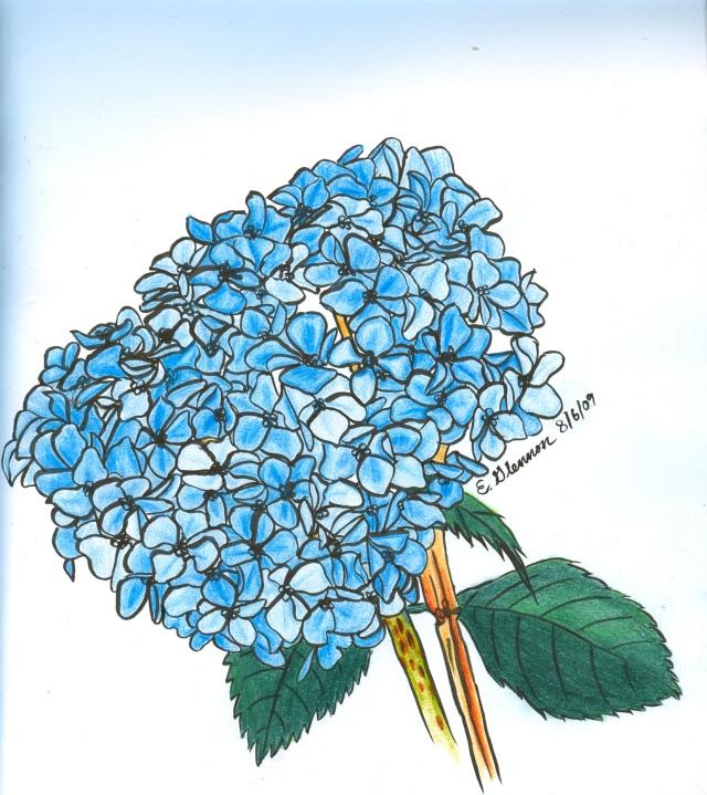 Hydrangea, sketch (c) 2009 Emma Glennon