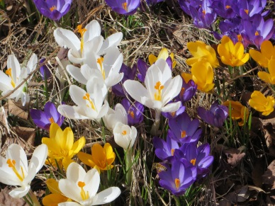 The singular form/Is it Croci? Crocuses?/They're trying so hard