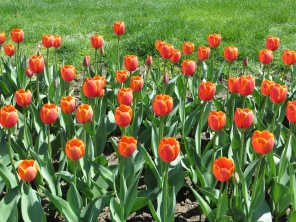 More tulips popping up on the Common