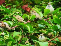 Inside a fall bush/I see at least five plump birds/Basking in the sun