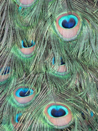 Layers of feathers/Magnificent cobalt hearts/Lie in each center