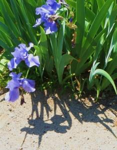 An extra set of Irises