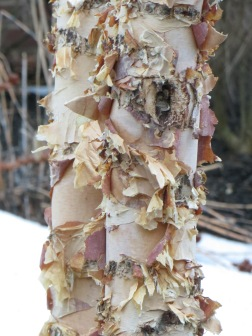 Birch bark can be smooth/Or dramatically arrayed/ Sometimes frayed away