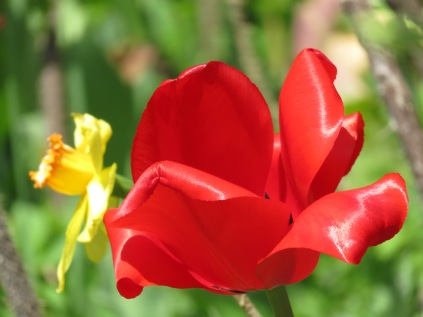 Tulips (May) 040