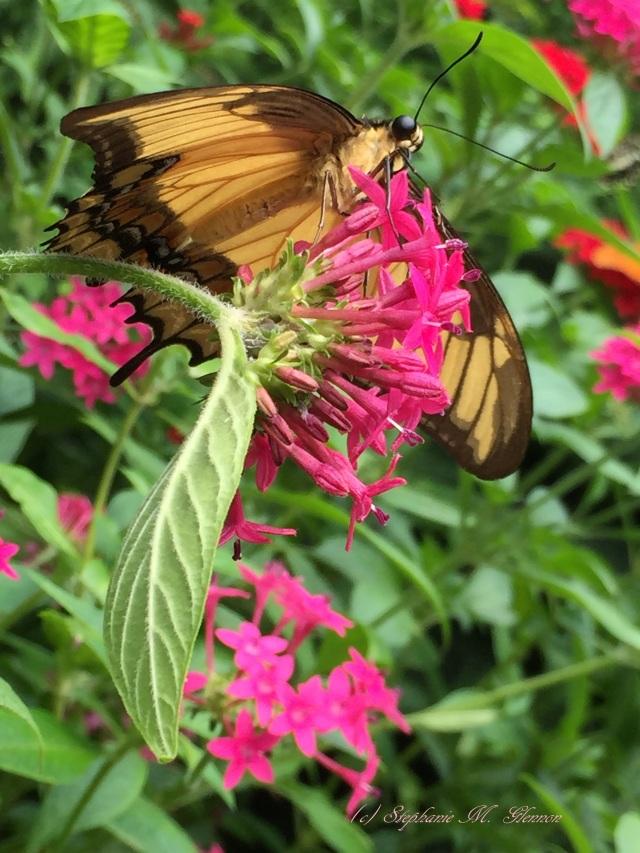 butterflies2 059